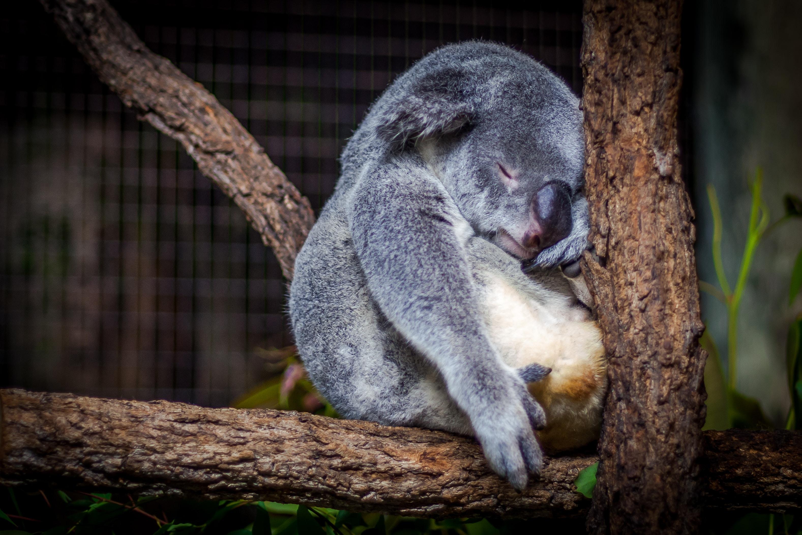sen w triathlonie - przykład misia koala